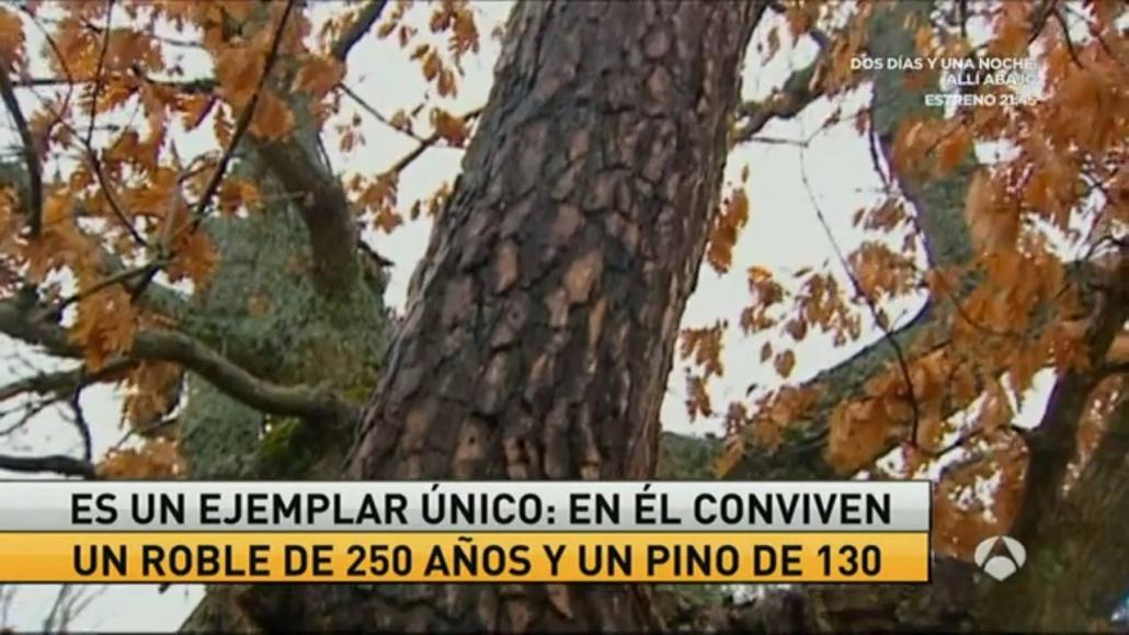 Nuevo Reportaje del El Pino Roble de Canicosa en TV